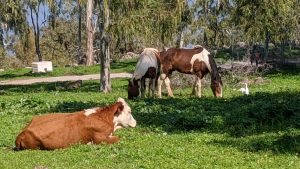Cow and horses